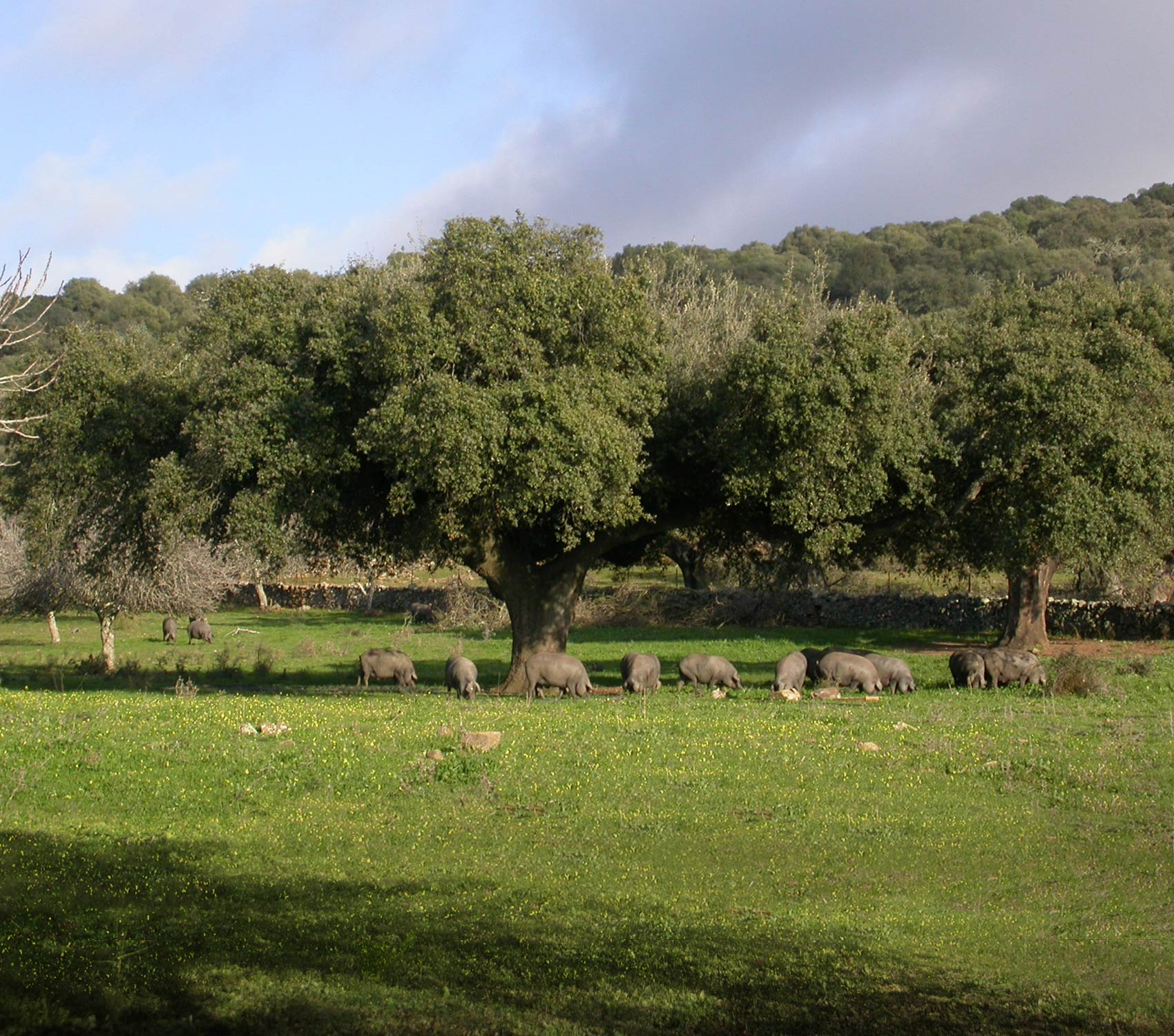 Iberian pigs in the pasture